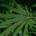 Medicinsk cannabis - 2 film.